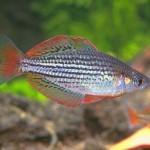Радужная рыбка, или Меланотения радужная (Melanotaenia maccullochi)