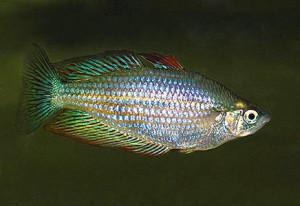 Меланотения голубая, или Радужница горбатая, или Радужница голубая (Melanotaenia Splendida Splendida)