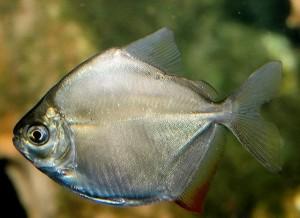 Метиннис обыкновенный, метиннис Шреймюллера, рыба-зеркало (Metynnis hypsauchen)