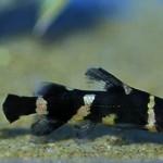 Микрогланис Зебровый, Сом-пчелка или Сомик-арлекин (Microglanis iheringi)