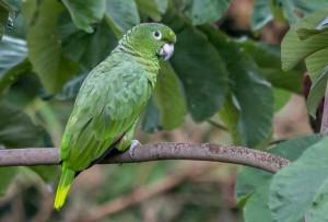 Амазон Мюллера, или Мюллеров амазон (Amazona farinosa)