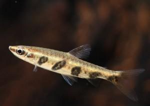 Пецилобрикон полосатый (Nannostomus espei)