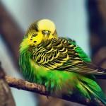 Насиживание яиц волнистыми попугаями