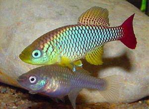 Нотобранхиус Фоерши (Nothobranchius foerschi)