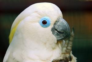 Очковый какаду (Cacatua ophthalmica, Plyctolophus ophthalmicus)