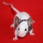 Окрасы декоративных мышей