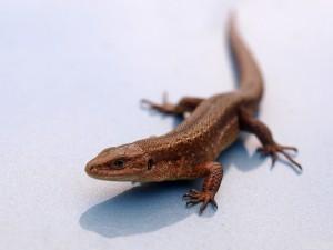 Описание и классификация ящериц