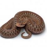 Описание и классификация змей