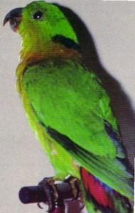 Ошейниковый неразлучник (Agapornis swindernianus)