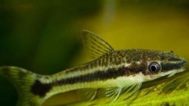 Отоцинклюс простой (Otocinclus affinis)