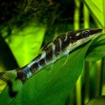 Отоцинклюс зебра (Otocinclus cocama, Zebra Otocinclus)