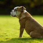 Ожирение у собак. Симптомы. Лечение