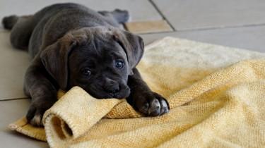 Первые дни щенка в доме
