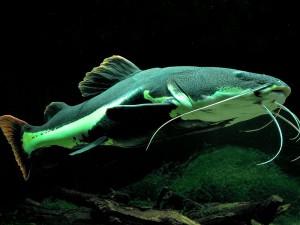 Фрактоцефалус краснохвостый, Сом оринокский, Краснохвостый сомик, Сом-плоскоголовик (Phractocephalus hemiliopterus)