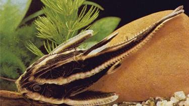 Платидор, колючий платидор, полосатый платидорас (Platydoras costatus)