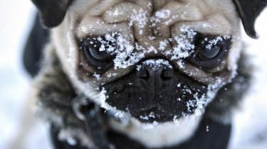 Почему у собак зимой не мерзнут лапы?