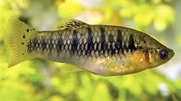 Лимия чернополосая, горбатая лимия (Poecilia nigrofasciata, Limia)