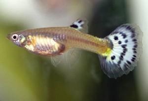 Гуппи (Poecilia reticulata или Lebistes reticulata)