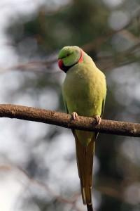 Индийский кольчатый попугай или ожереловый попугай Крамера (Psittacula krameri)