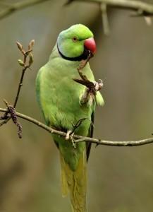 Описание и классификация Кольчатых (Ожереловых) попугаев