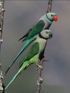 Малабарский кольчатый попугай (Psittacula columboides)