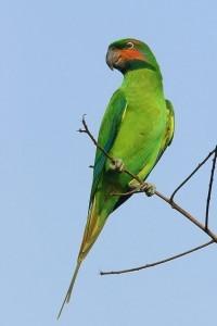 Нитехвостый кольчатый попугай (Psittacula longicauda)