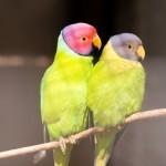 Красноголовый кольчатый попугай (Psittacula cyanocephala)