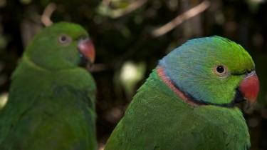 Маврикийский кольчатый попугай, или маврикийский ожереловый попугай (Psittacula echo)
