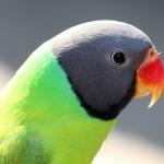Гималайский кольчатый попугай (Psittacula himalayana)