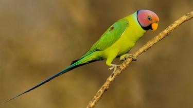 Розовоголовый кольчатый попугай (Psittacula roseata)