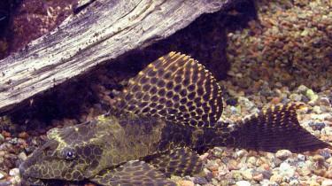 Птеригоплихт парчовый, или Глиптоперихт парчовый, или Сомик парчовый (Pterygoplichthys gibbiceps, Glyptoperichthys gibbiceps)