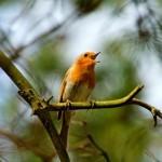 Интересные факты о пении птиц