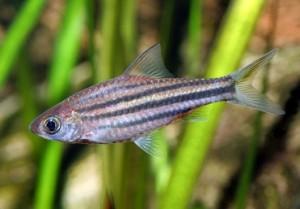 Барбус линейный, барбус четырехлинейный (Puntius lineatus, barbus lineatus)