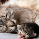 Рацион кормящей кошки