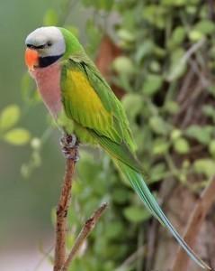 Розовогрудый кольчатый попугай (Psittacula alexandri)