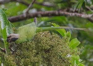 Сероголовый кольчатый попугай, или сероголовый ожереловый попугай (Psittacula caniceps)