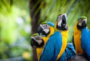 Сине-желтый ара (Ara ararauna)
