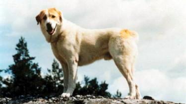Собака спасла хозяина ценой своей жизни!