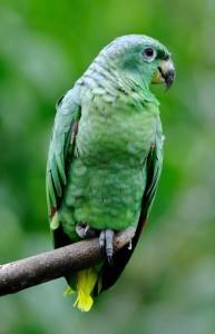 Солдатский амазон (Amazona mercenaria)