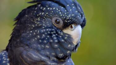 Траурный какаду Бэнкса (Calyptorhynchus banksii, син. Calyptorhynchus magnificus)