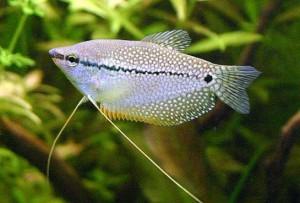 Аквариум рыба гурами