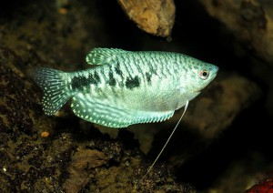 Гурами обыкновенный, гурами пятнистый (Trichogaster trichopterus trichopterus)