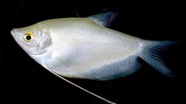 Гурами лунный (Trichogaster microlepis)