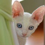 Уход за ушами кошки