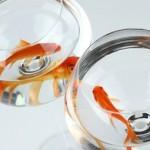 В Новой Зеландии спасли золотых рыбок, голодавших 134 дня