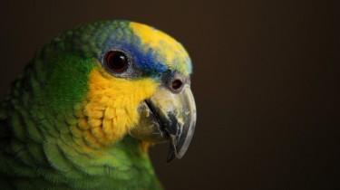 Венесуэльский амазон (Amazona amazonica)