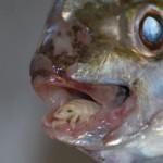 Вошь - пожиратель языка или Cymothoa exigua