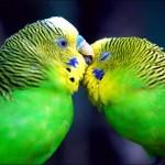 Подбор пары волнистых попугаев