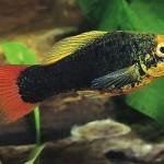 Пецилия многоцветная, многоцветная платипецилия, изменчивая пецилия (Xiphophorus variatus)