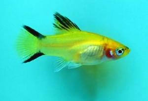 Пецилия пятнистая или Плятипецилия (Xiphophorus maculatus, Platypoecilus maculatus)
